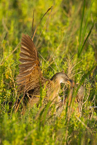 Clapper Rails fighting - South Padre Island, TX, USA