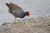 Common Gallinule - South Padre Island, TX, USA