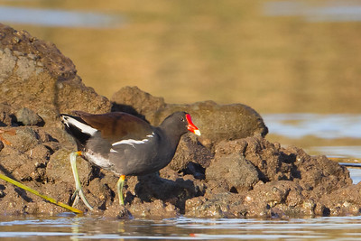 Common Moorhen - Alviso, CA