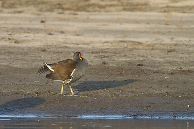Common Gallinule - Aswan, Egypt