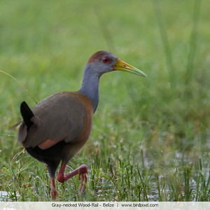 Gray-necked Wood-Rail - Belize