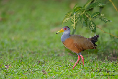 Gray-necked Wood-Rail - Amazonia Lodge, Nr. Manu National Park, Peru