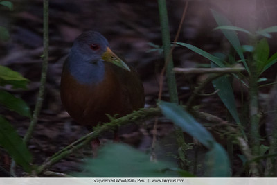 Gray-necked Wood-Rail - Peru