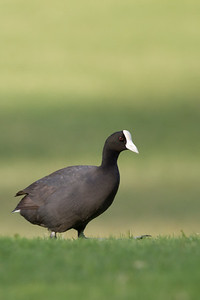 Hawaiian Coot - Maui, Hawaii, USA