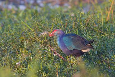Purple Swamphen - Gray-headed subspecies - Around Koradi Lake, Nagpur, India