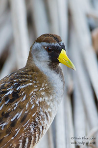 Sora - South Padre Island, TX, USA
