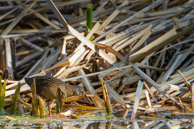 Virginia Rail - Patagonia, AZ, USA