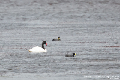 Black-necked Swan and White-winged Coot - Chile
