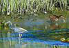 Tricolored Heron and Clapper Rail