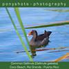 Common Gallinule<br /> Rio Grande, Puerto Rico<br /> January 29, 2013<br /> 2013 Bird Count #2