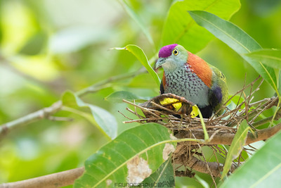 Superb Fruit-Dove