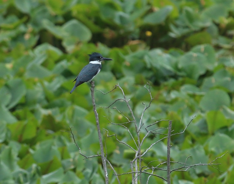 Belted Kingfisher - New Bold Run Wetlands at McGuire AFB New Jersey