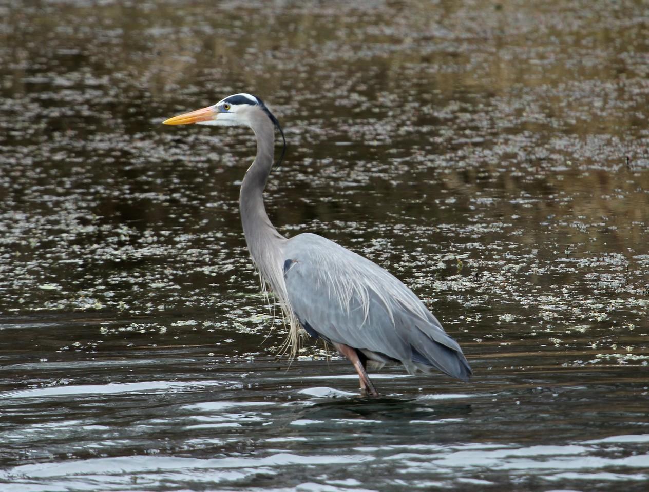 Great Blue Heron 3-26-16