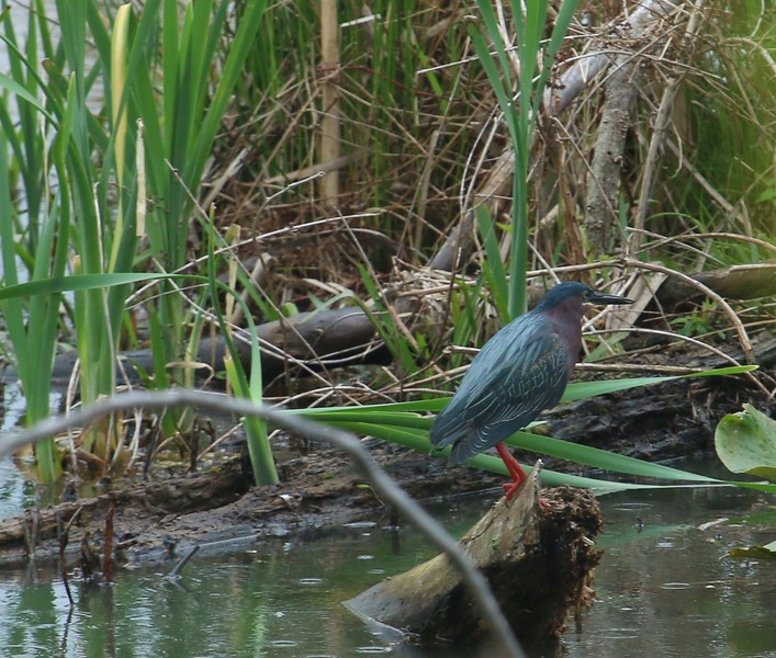 Green Heron - New Bold Run Wetlands at McGuire AFB New Jersey