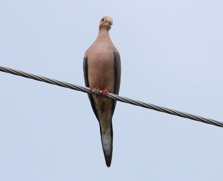 Mourning Dove Route 147 in Middlefield, CT
