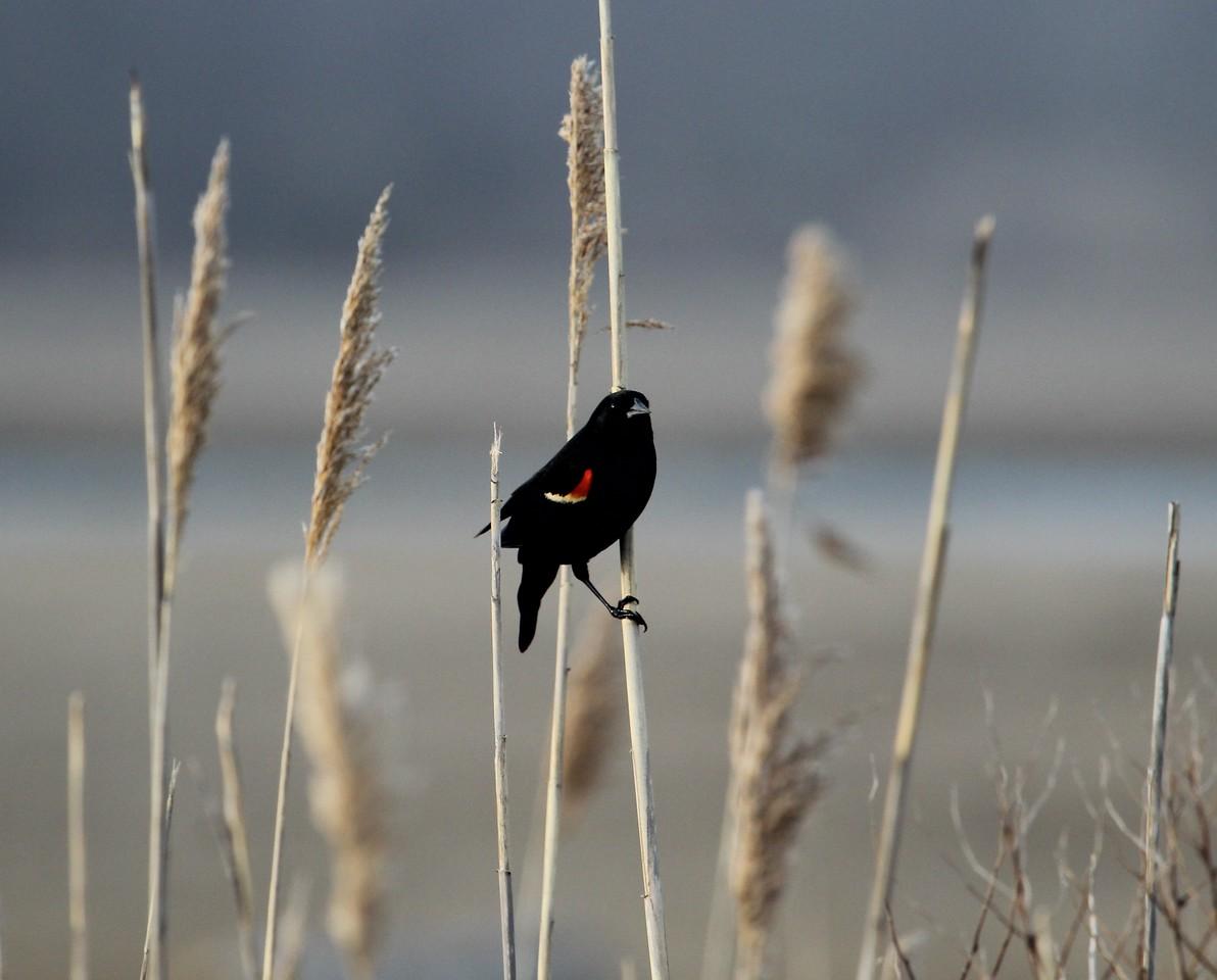 Red Wing Black Bird