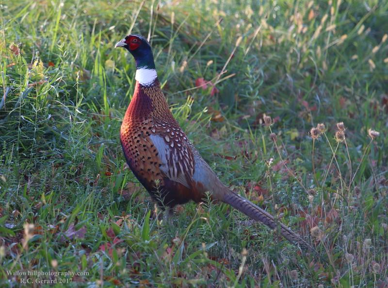Pheasant - Middletown, CT