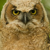 baby Great Horned Owl returned to wild