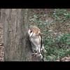 Barn Owl. A Raptor Conservancy of Virginia Bird at Meadowlark Gardens for educational purposes.
