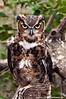 Great Horned Owl. A Raptor Conservancy of Virginia Bird at Meadowlark Gardens for educational purposes.