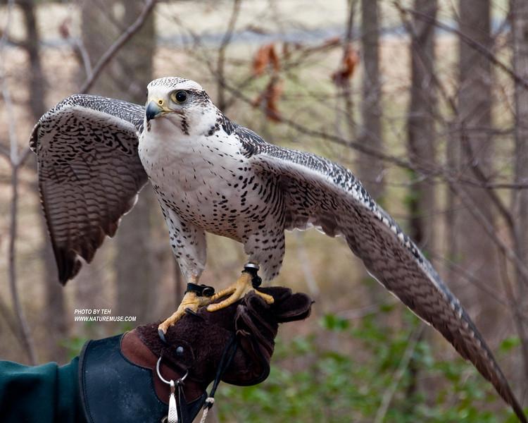 Gyrfalcon. A Raptor Conservancy of Virginia Bird at Meadowlark Gardens for educational purposes.