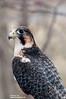 Hybrid Falcon (Pereguine/Merlin?).  A Raptor Conservancy of Virginia Bird at Meadowlark Gardens  for educational purposes.