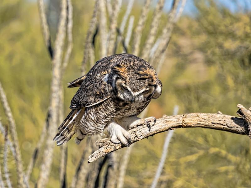 RFF:  Great horned owl