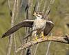 RFF:  Prairie falcon