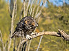 RFF:  Great horned owl