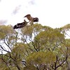 Wedge-Tailed Eagle    -    Courtship Sequence