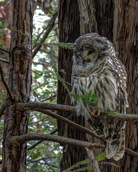 Spotted Owl on a Redwood