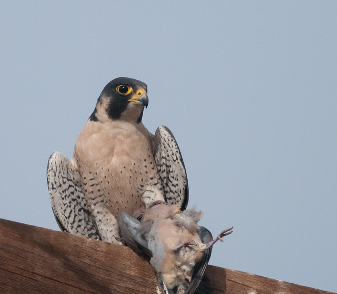 Peregrine Falcon with Eurasian Collared Dove