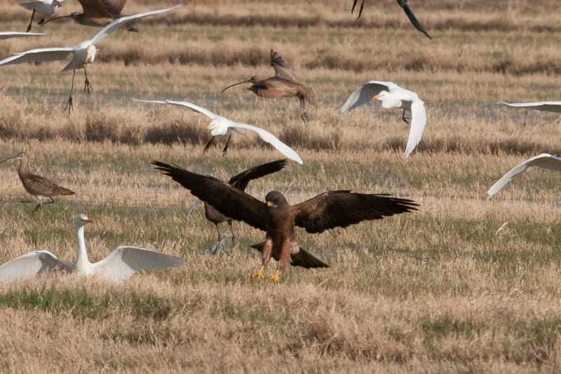 Swainson's Hawk, searching for crickets with egrets and curlew, Southern California, March