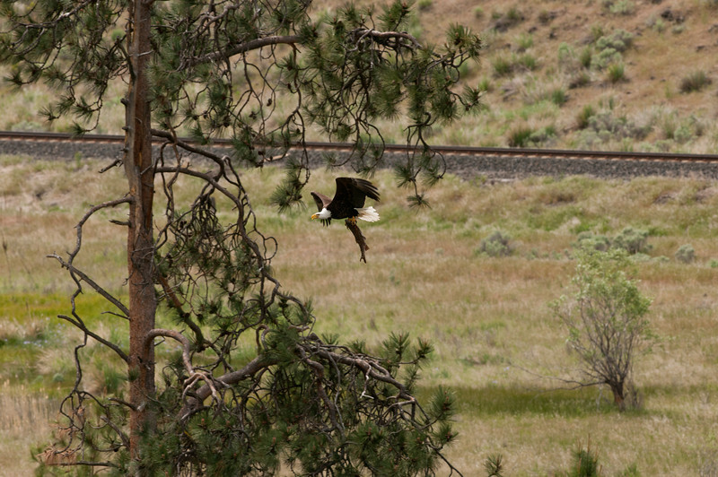 Bald Eagle pair at nest along  Yakima River