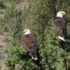 Bald Eagles in Juniper tree along the John Day River, north central Oregon.