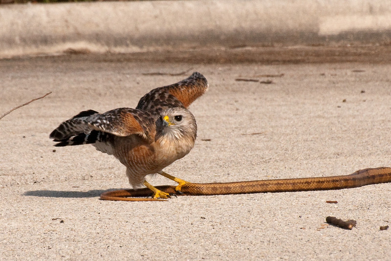Red-Shouldered Hawk with snake.