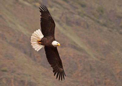 Raptors-Hawks, Eagles, Vulture
