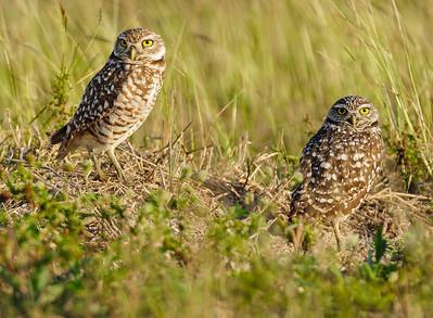Cape Coral Owls