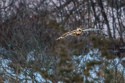 Short-eared owl hunting before dawng