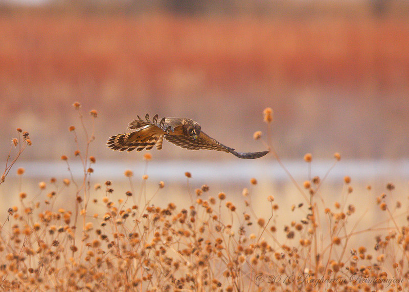 Northern Harrier<br /> Bosque del Apache, NM