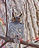 Great Horned Owl<br /> Ithaca, NY