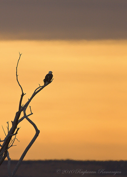 Bald Eagle<br /> Bosque del Apache, NM