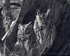 Eastern Screech Owls<br /> Ithaca, NY