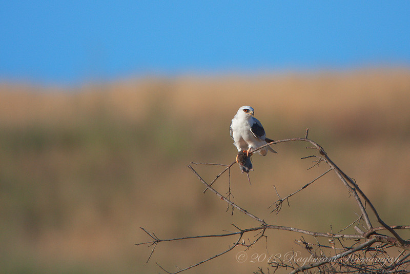 White-tailed Kite<br /> Palo Alto, CA