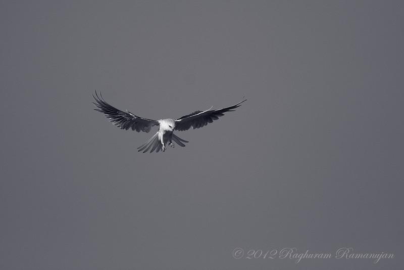 White-tailed Kite<br /> Palo Alto, CA