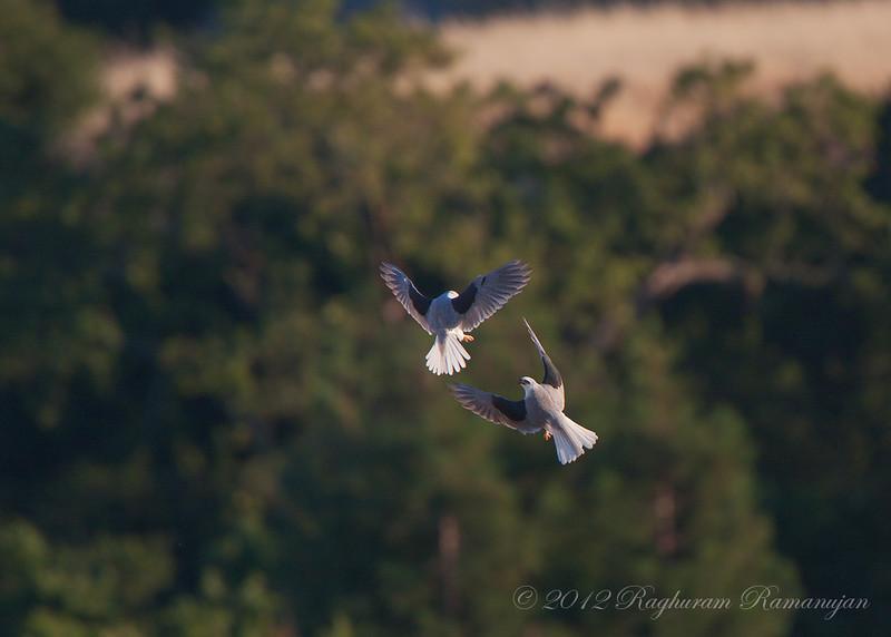 White-tailed Kites<br /> Palo Alto, CA