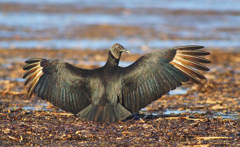 Black Vulture<br /> Parque Nacional Corcovado, Costa Rica