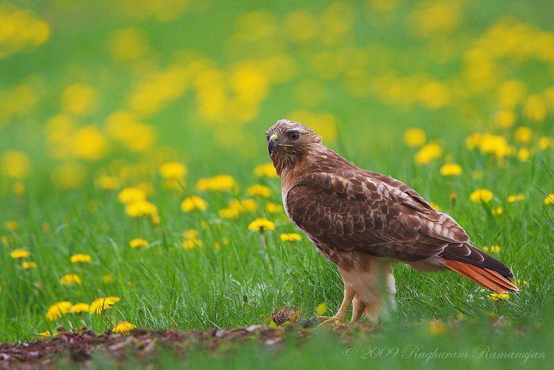 Red-tailed Hawk<br /> Ithaca, NY