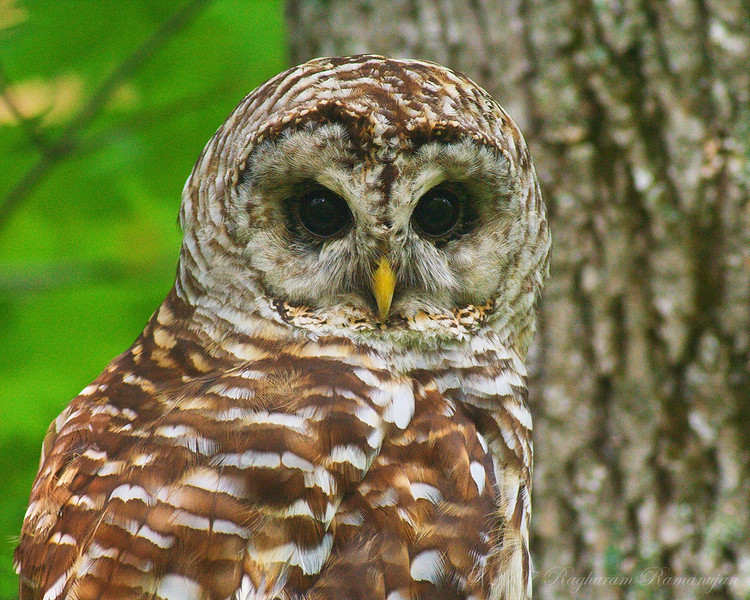 Barred Owl<br /> Ithaca, NY