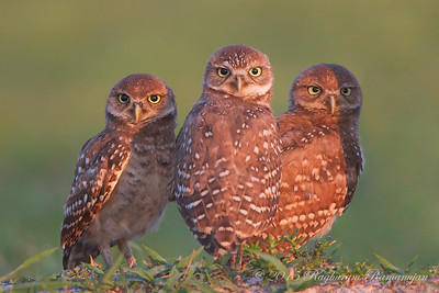 Burrowing Owls Cape Coral, FL